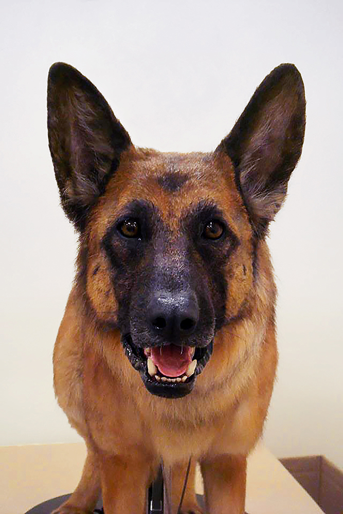 This animatronic German Shepherd was created for  Cats and Dogs 2: The Revenge of Kitty Galore
