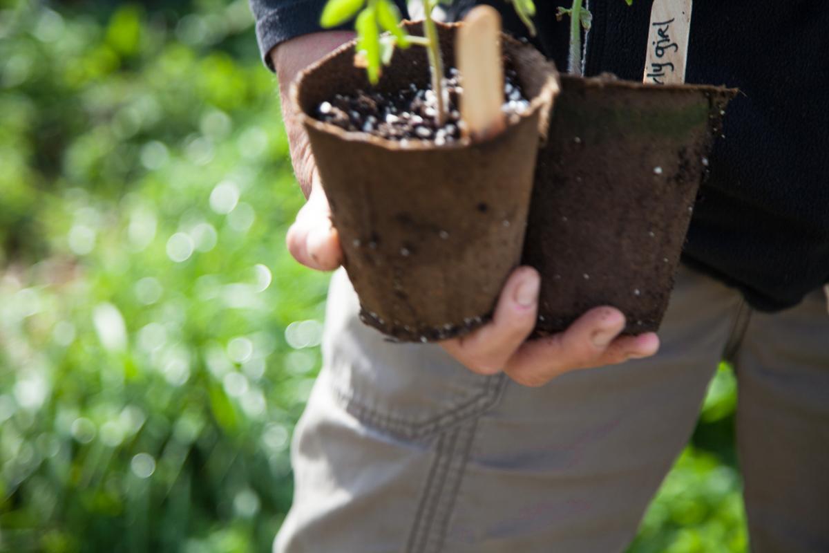 Shannon_Varley_tomato_seedlings_066.JPG
