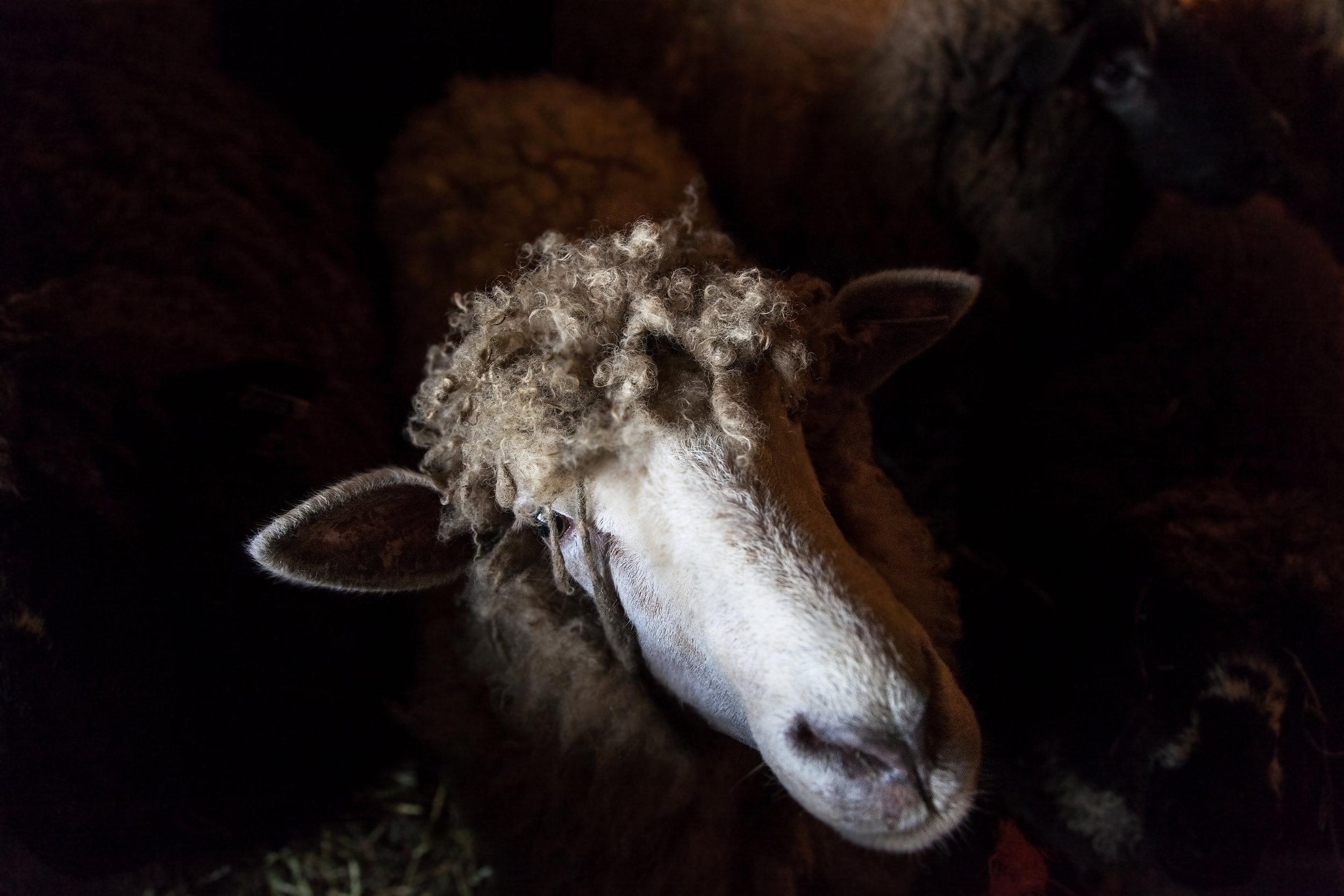 Shannon_Varley_sheep_050.jpg