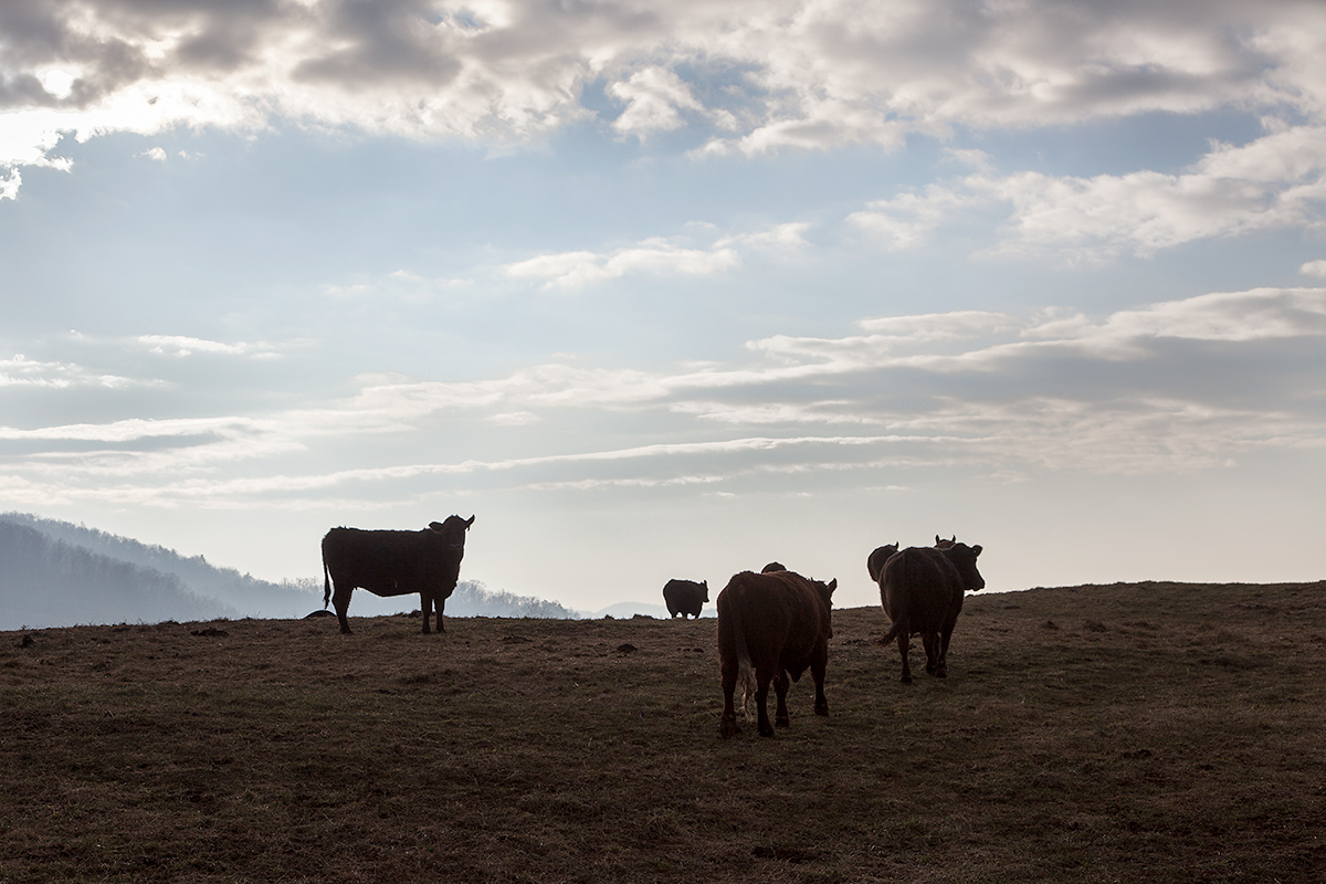 Molly_Peterson_cows_silhouette_252.jpg
