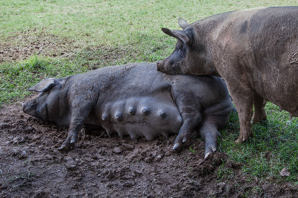 A very pregnant sow and her special friend