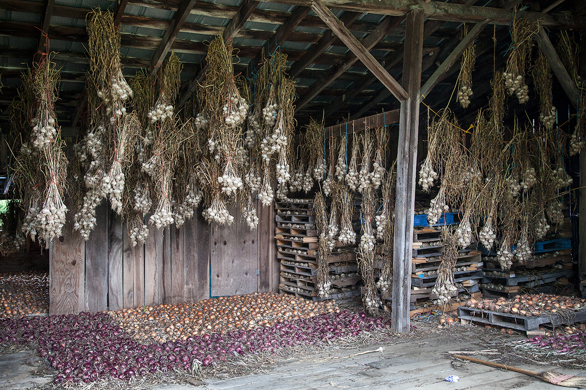 Curing onions and garlic in the barn at Moutoux Orchard
