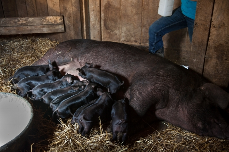 Hilltop_Acres_Farm_pig_nursing_125.jpg