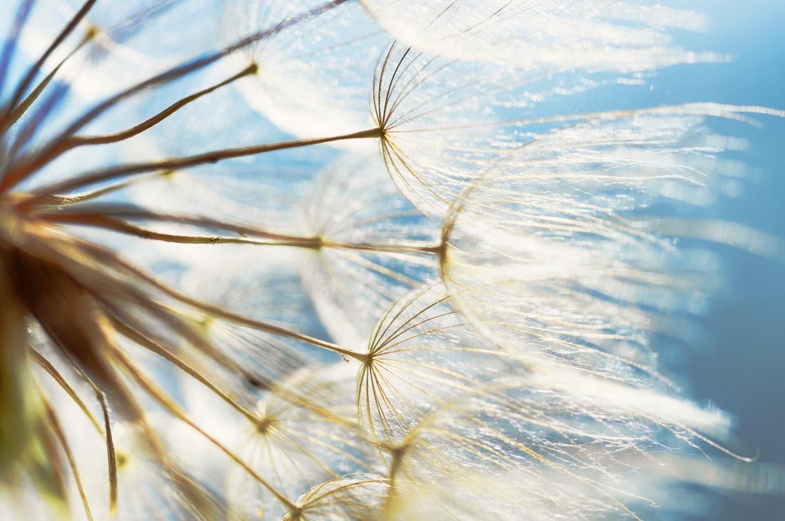 dandelion_orig.jpg