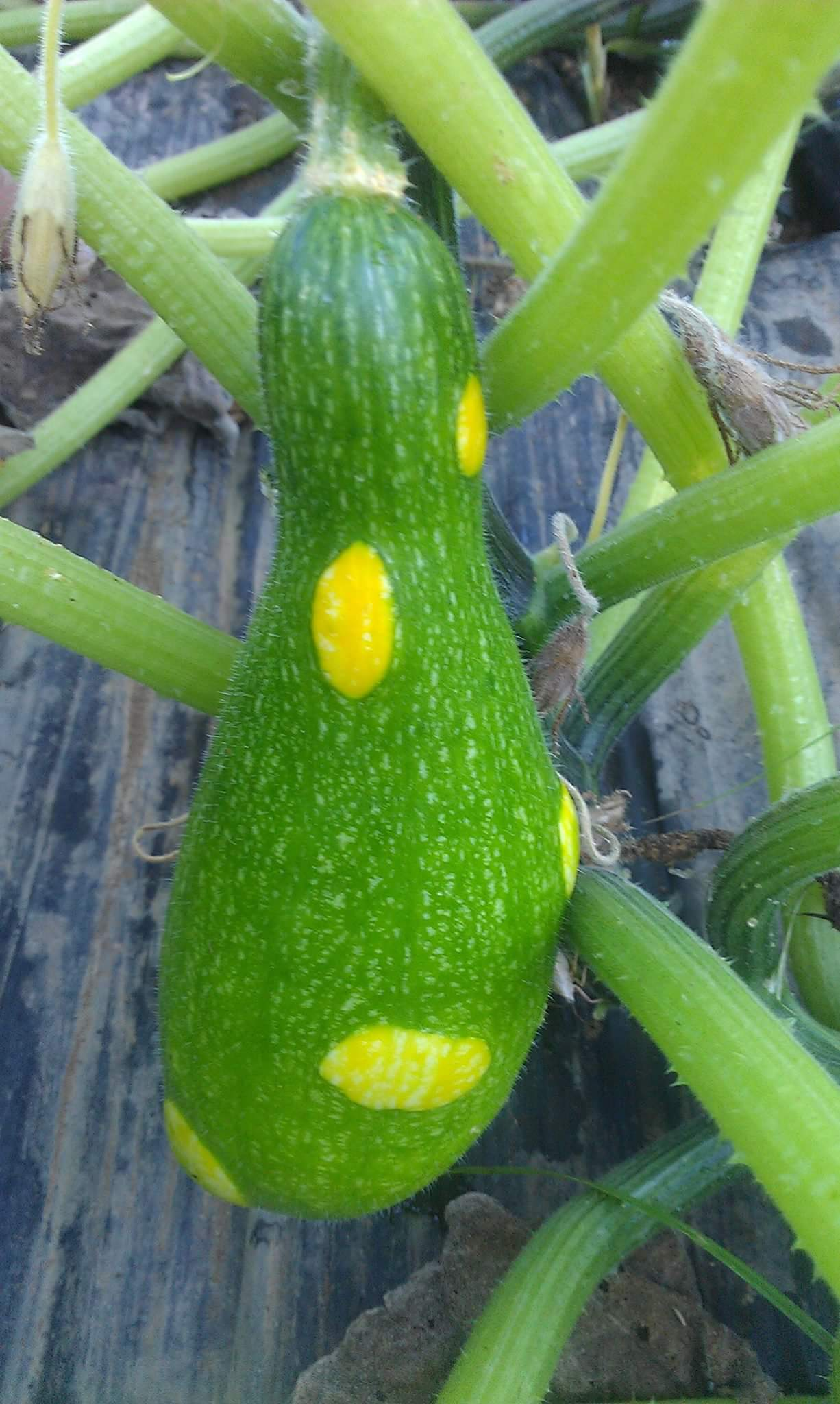 """This """"ugly"""" zucchini is quite pretty to me. Zucchini and photo by  Feathers & Fruit  / Jessie Temple."""