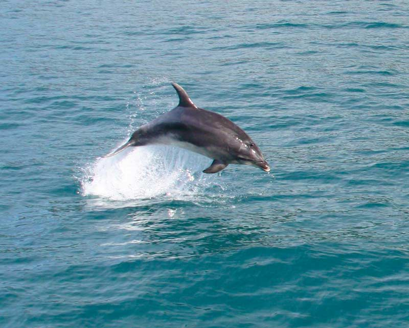 leaping-dolphin.jpg