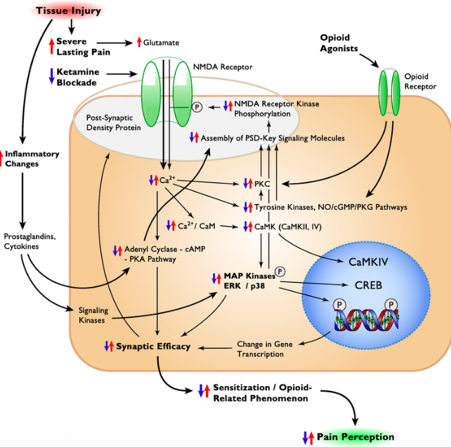 In sensitization and opioid tolerance-related phenomena, pathologic pain is an expression of neuronal plasticity (   6   ).