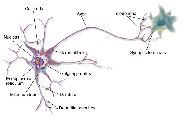 Multipolar Neuron.  Wikimedia Commons.
