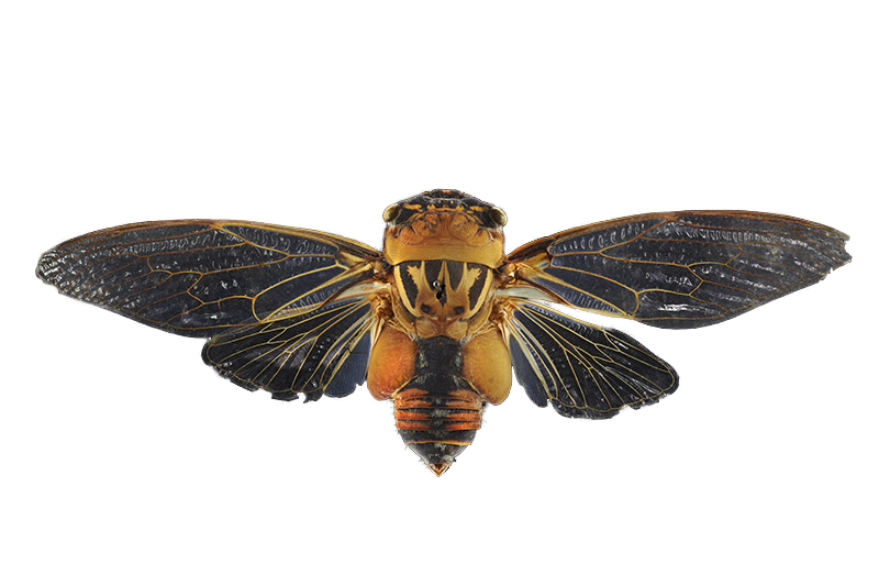 double-drummer-cicada-transparent.png