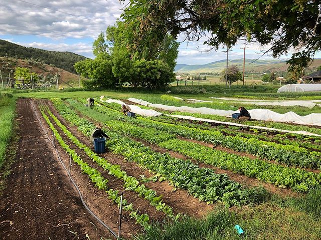 Da Crüe picking for tomorrow's #parkcity #farmersmarket, #CSA, and restaurants. @parkcityfarmersmarket Wednesday from noon to 5:00. #webendoversoyoudonthaveto