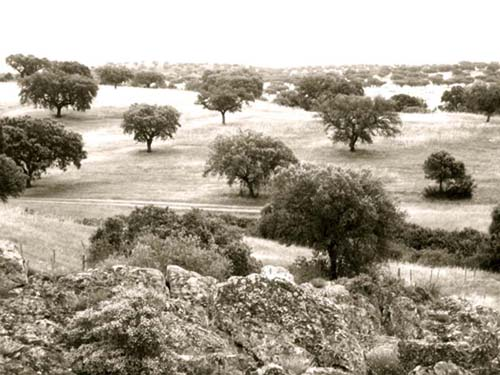 view of the cork oak trees from my room