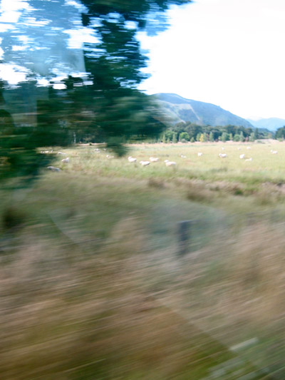Train ride from Wellington to Mt. Bruce. Sheep everywhere.