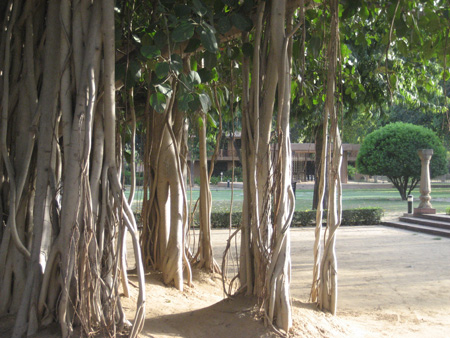Indian Banyan tree on the residency grounds.