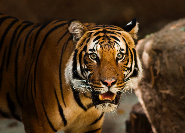 Tiger photo by Jessica Weiller