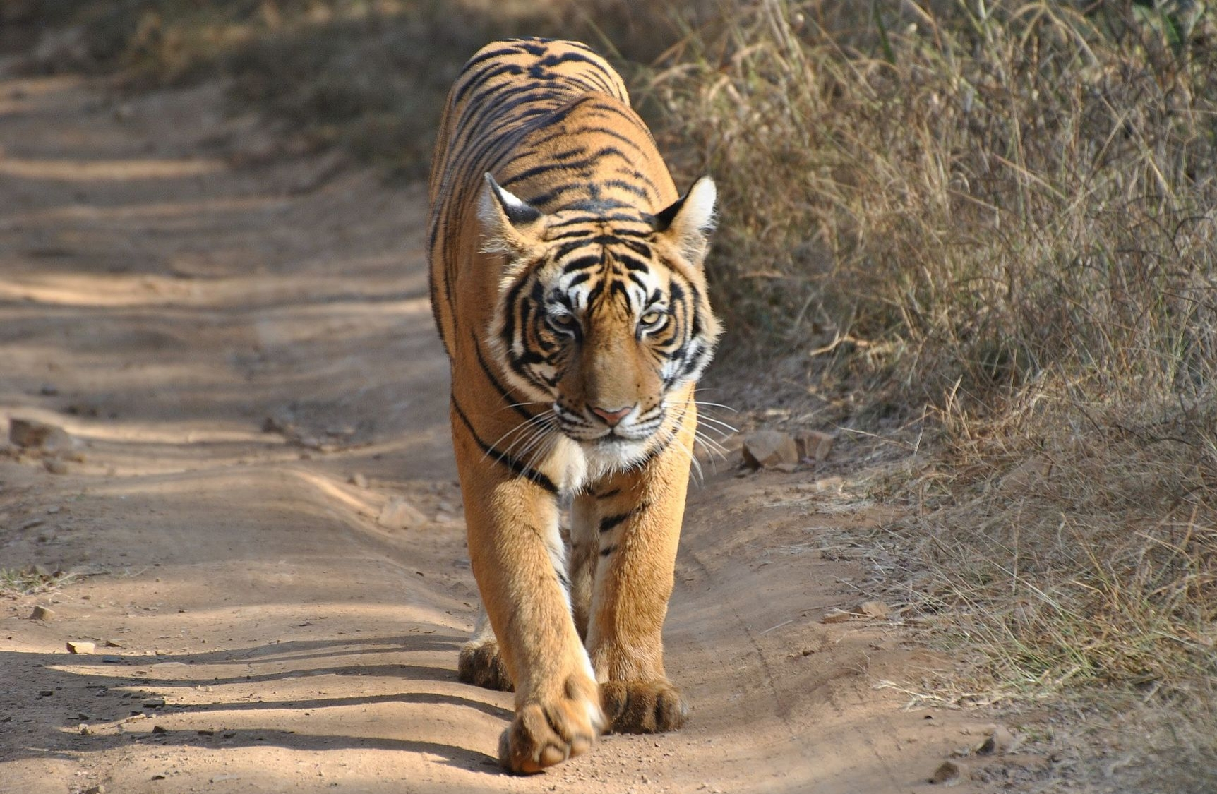 Bengal tiger on the prowl.