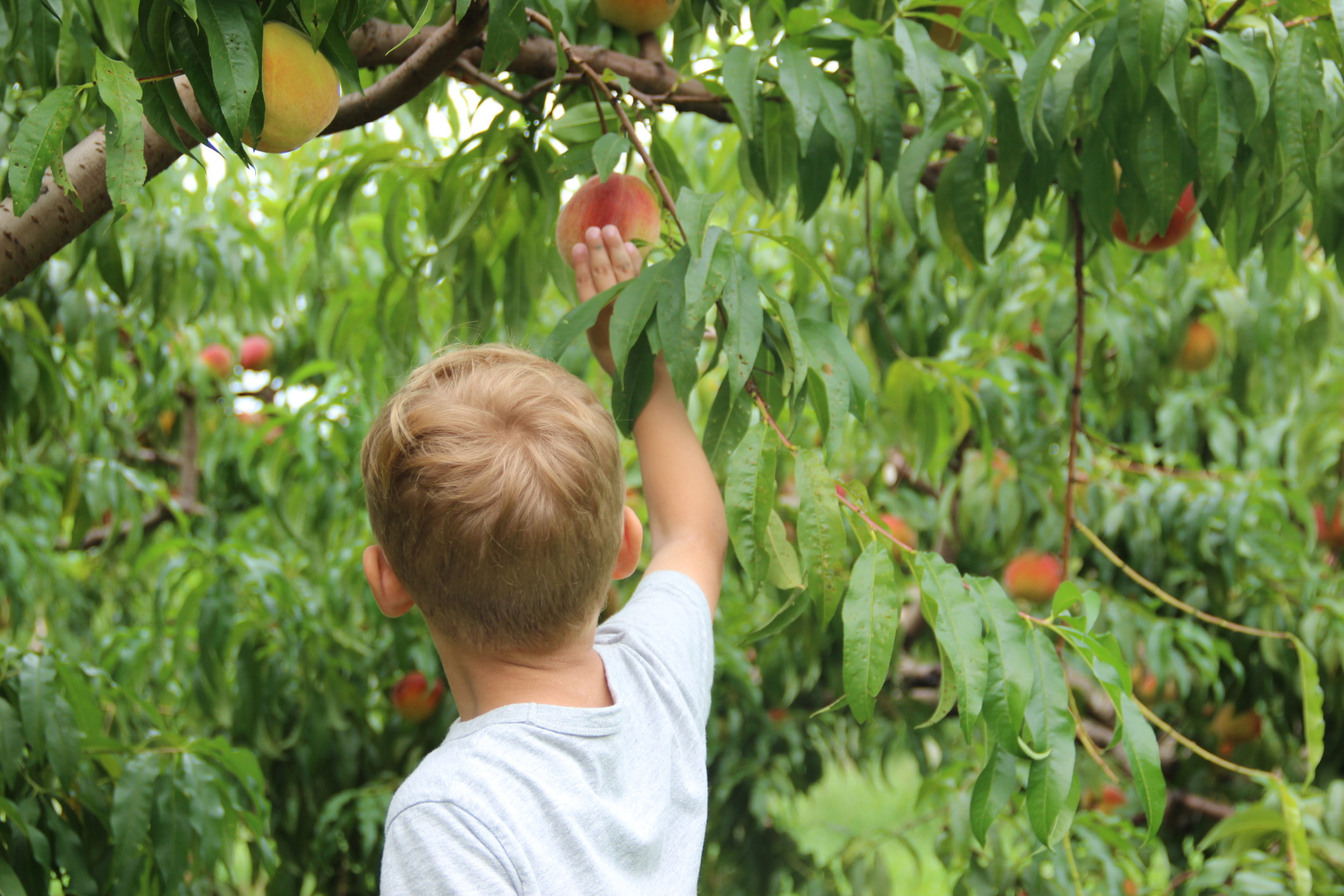 Boy picking Bishops Pick Your Own Peaches