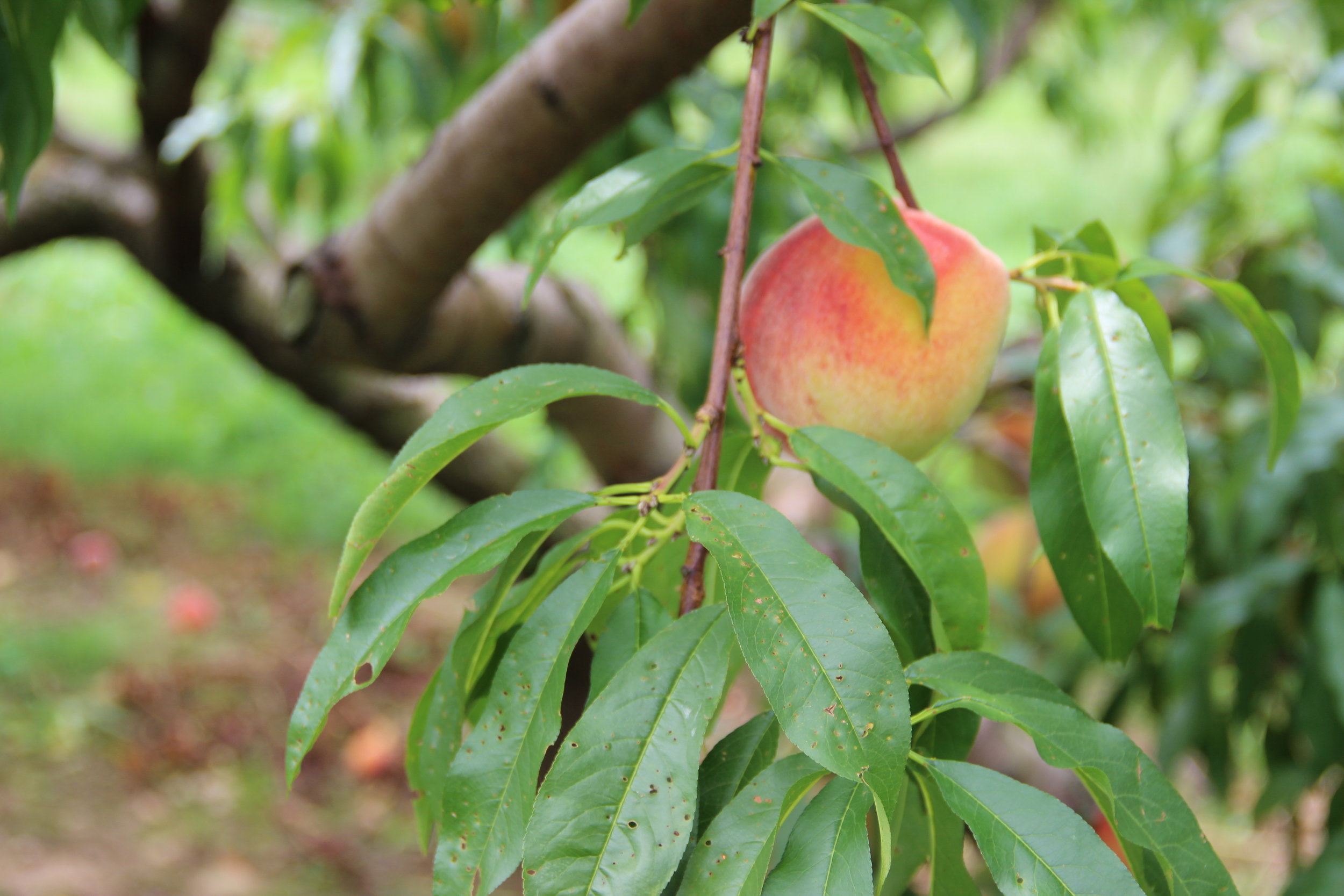 Bishops Pick Your Own Peaches