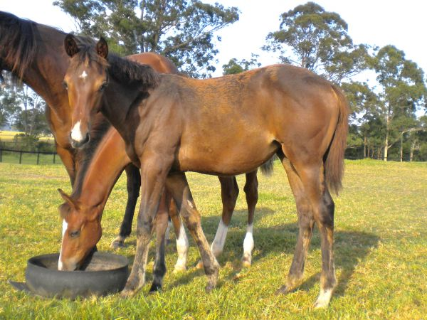 Chantilly Milly as a foal