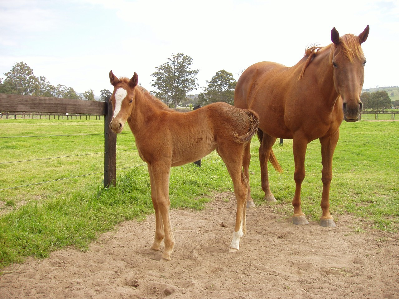Exceed and Excite as a foal at foot