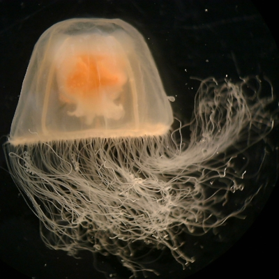 Turritopsis species photographed by Lisa-ann Gershwin