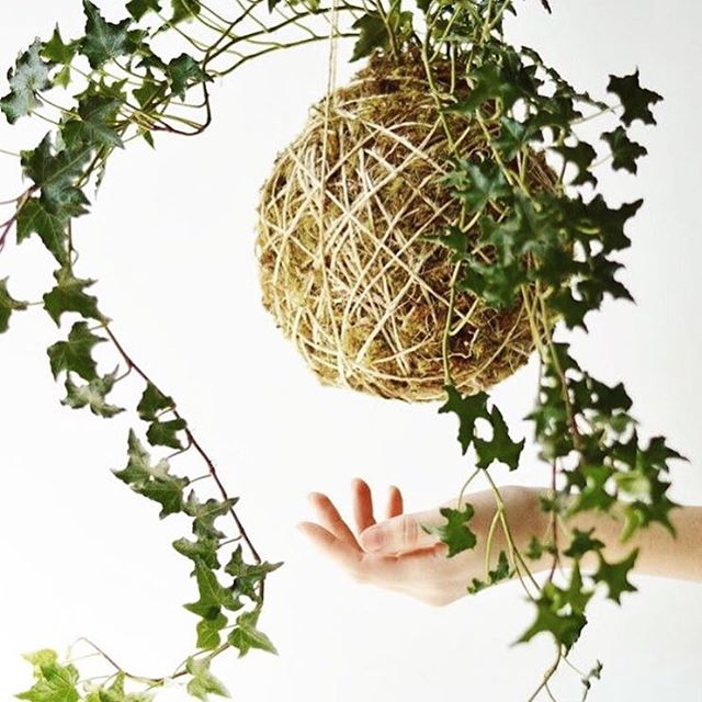 [Kokedama Workshop Bunbury]  Originating in Japan, kokedama are living plant and moss balls. Traditionally displayed sitting, they also look magical bound up with string and hanging. Similar to bonsai, they are a lovely way to bring a bit of greenery indoors and can live for years. ⠀⠀⠀⠀⠀⠀⠀⠀⠀ In this hands-on workshop you'll have access to all the materials needed to make your own beautiful kokedama and will be taken step by step through the unique process. Everyone will make a kokedama to take home with them at the end of the workshop!  Date : Saturday March 10 Time : 1.30pm - 4.00pm . . 📷 repost via @feldandco  Bought to you by @wilding.studio