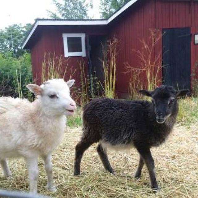 Lammen i fårhagen sommaren 2016. Lampat haassa kesä 216.