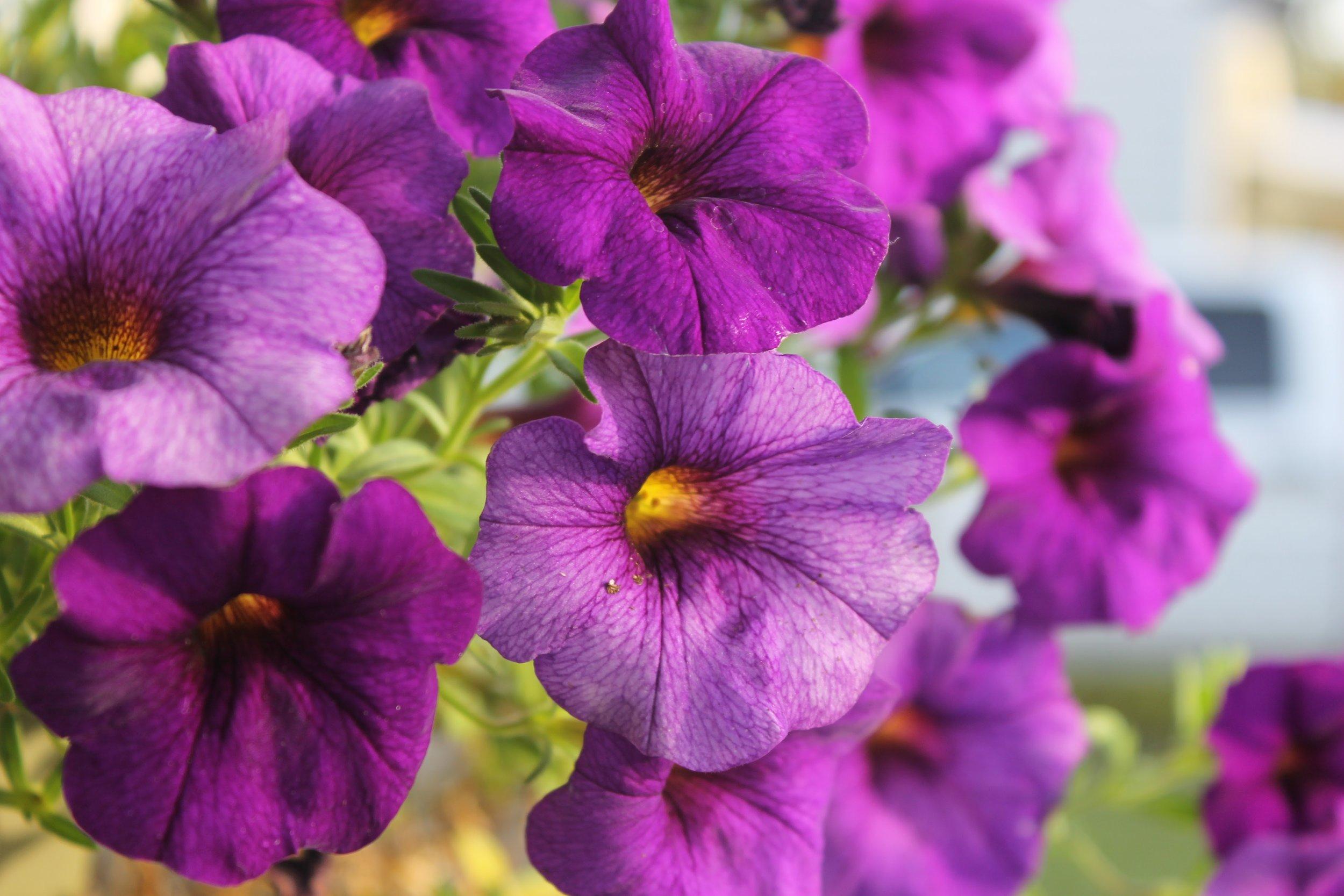 purple flowers in sunset