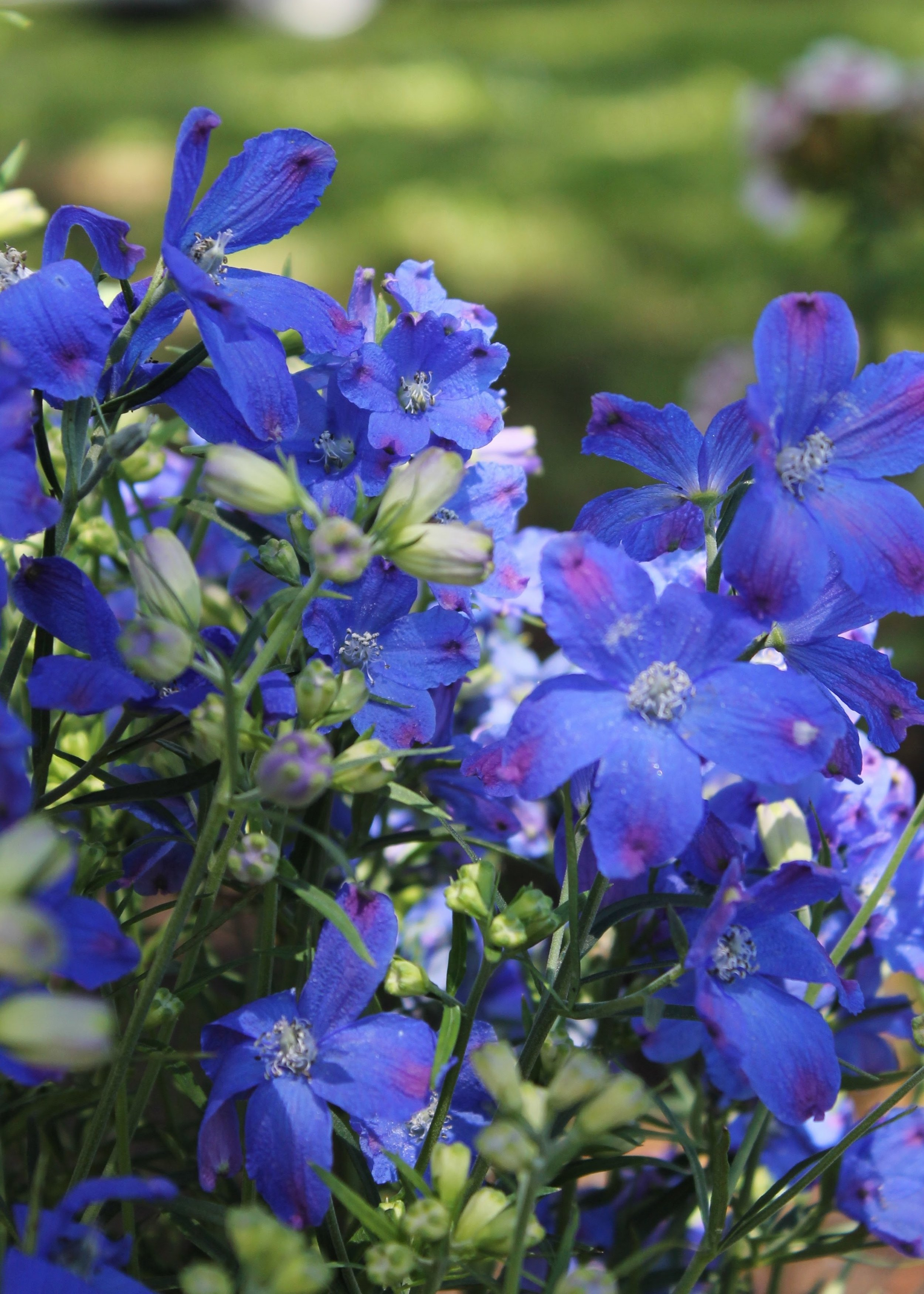 royal blue flowers in front yard