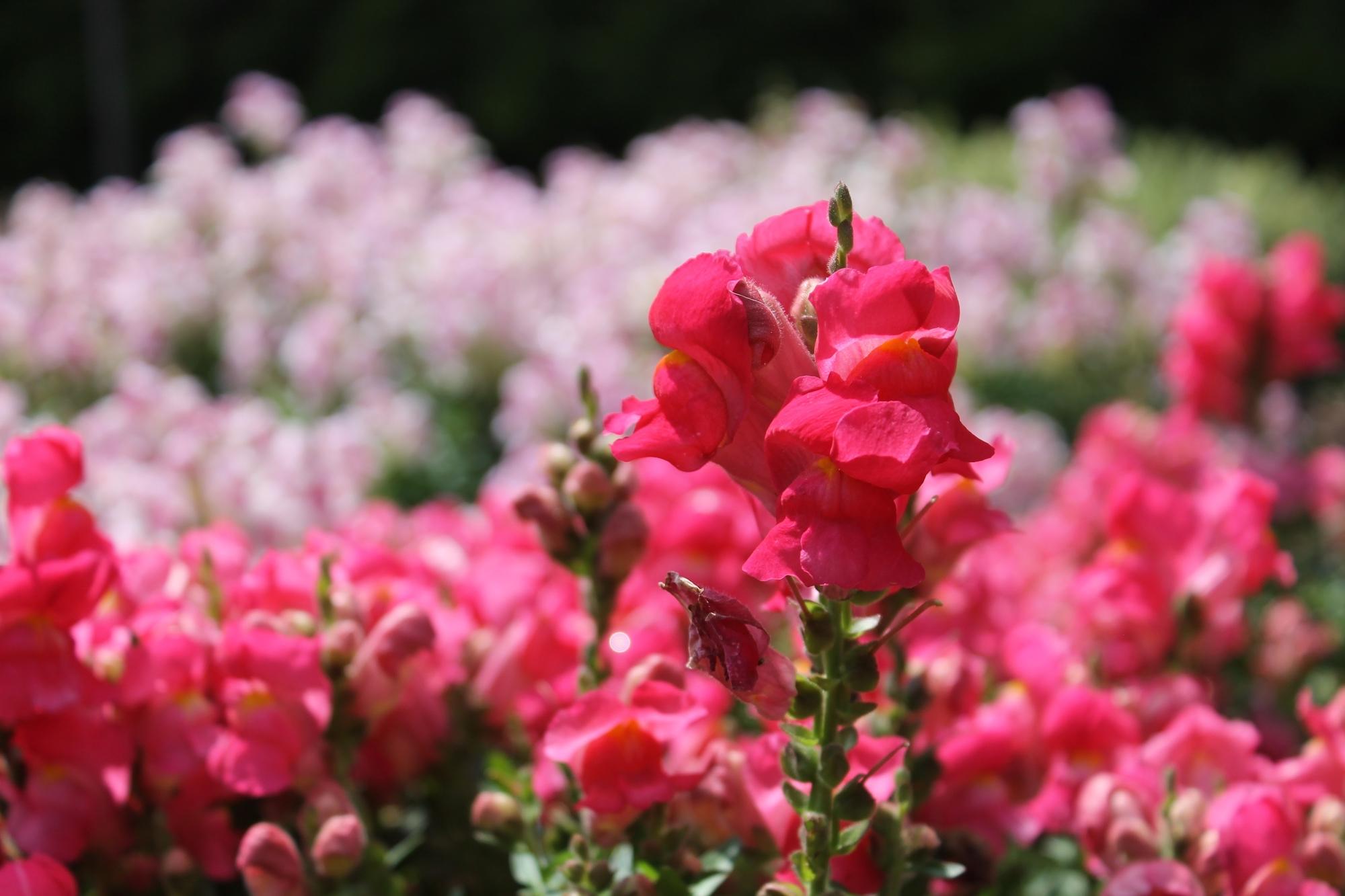 hot-pink-flowers.jpg