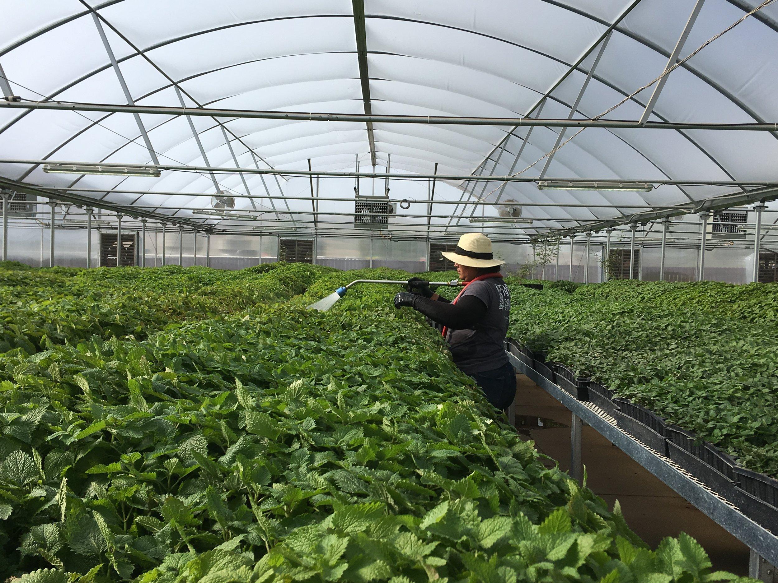 ferme de Mona dans l'Utah, plants de Mélisse qui se font chouchouter avant d'être plantés en pleine terre (c'est moi qui ai pris cette photo car oui j'ai aussi voulu voir ailleurs qu'à Simiane)