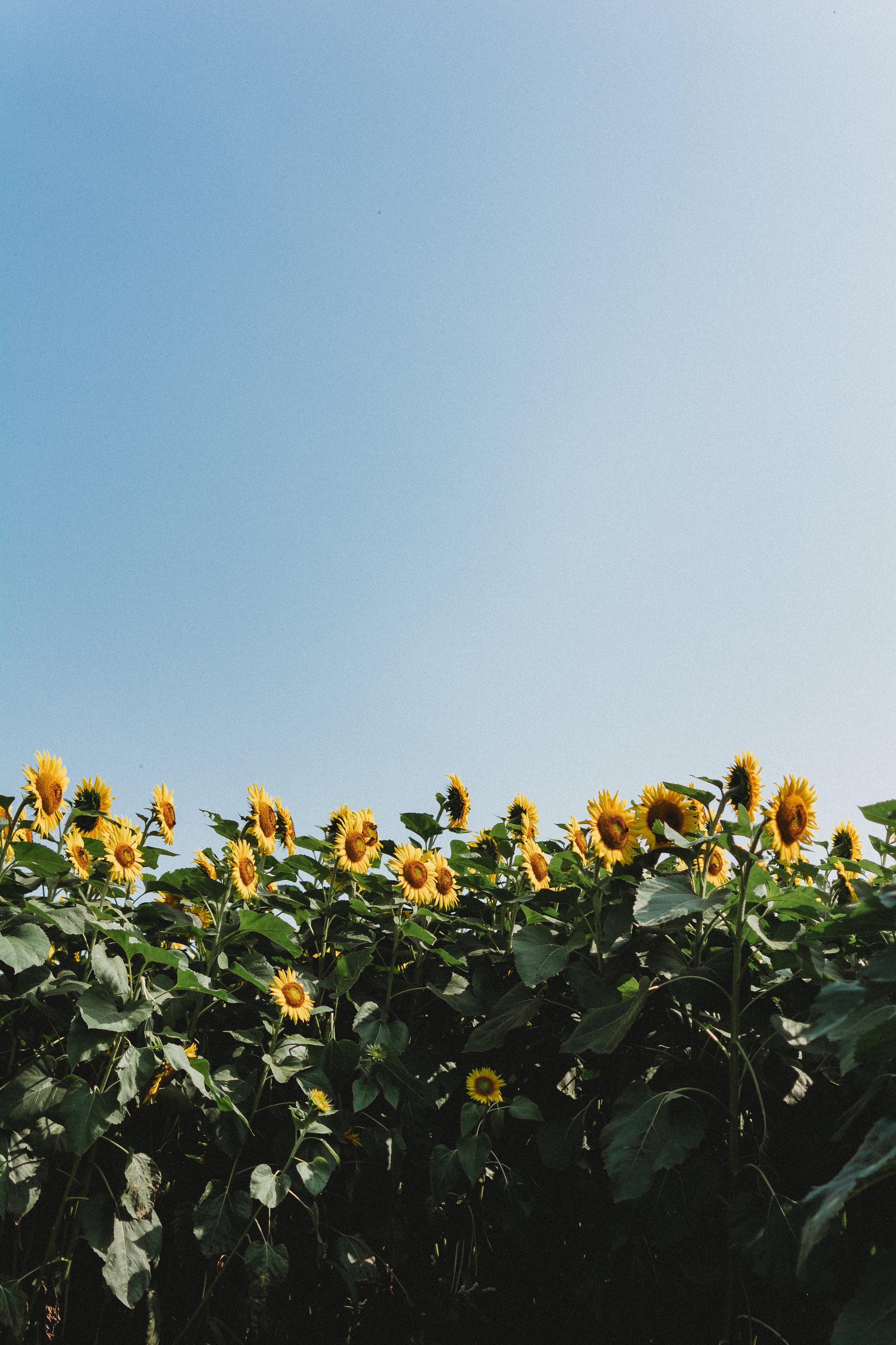Colby Farm Sunflowers (9 of 58).jpg