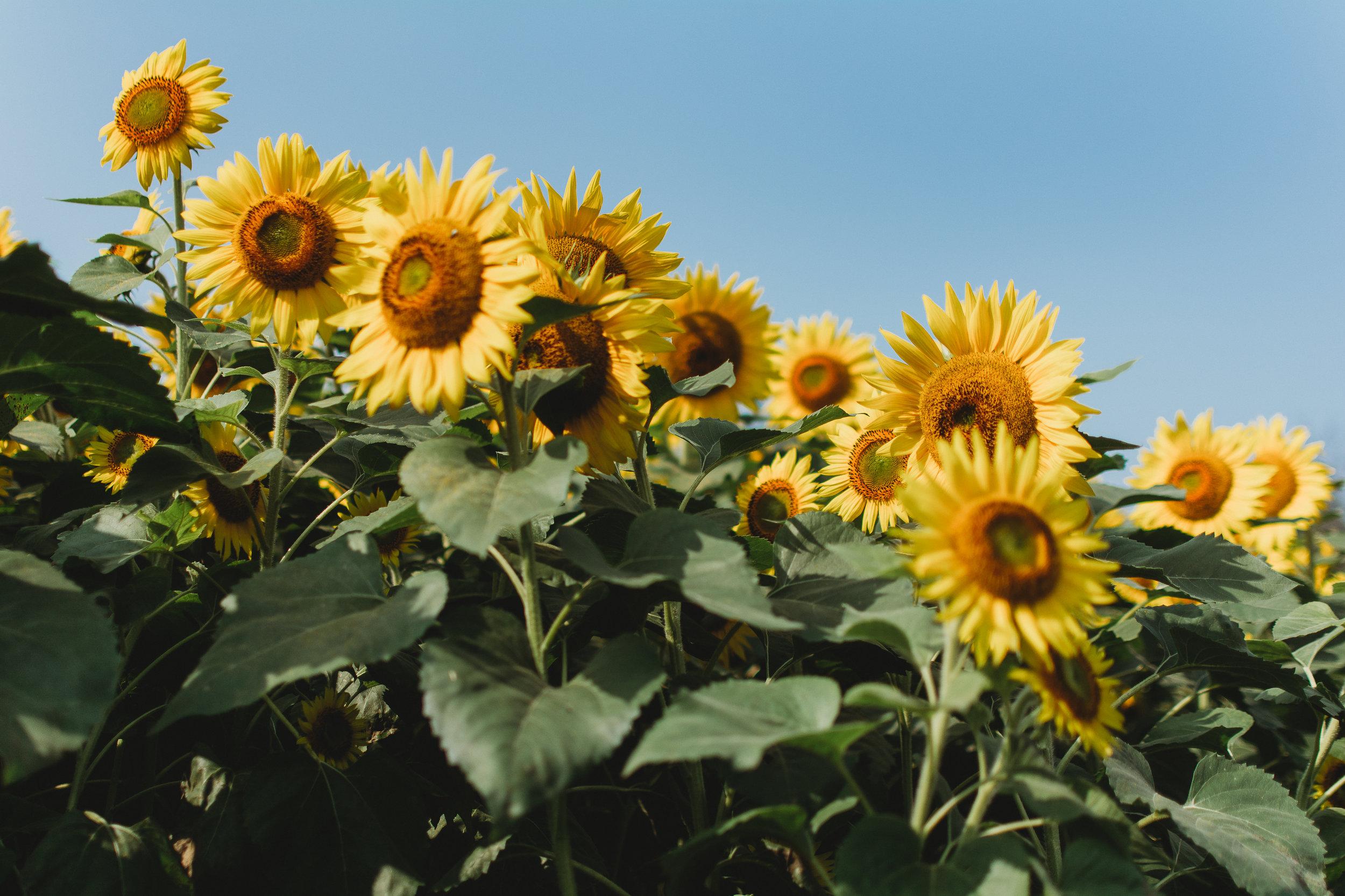 Colby Farm Sunflowers (23 of 58).jpg