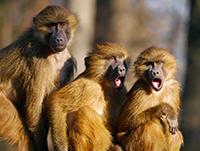 Zum ArtikeL: Einhunder Affen - Überlebensstrategien für den ökologischen Kollaps