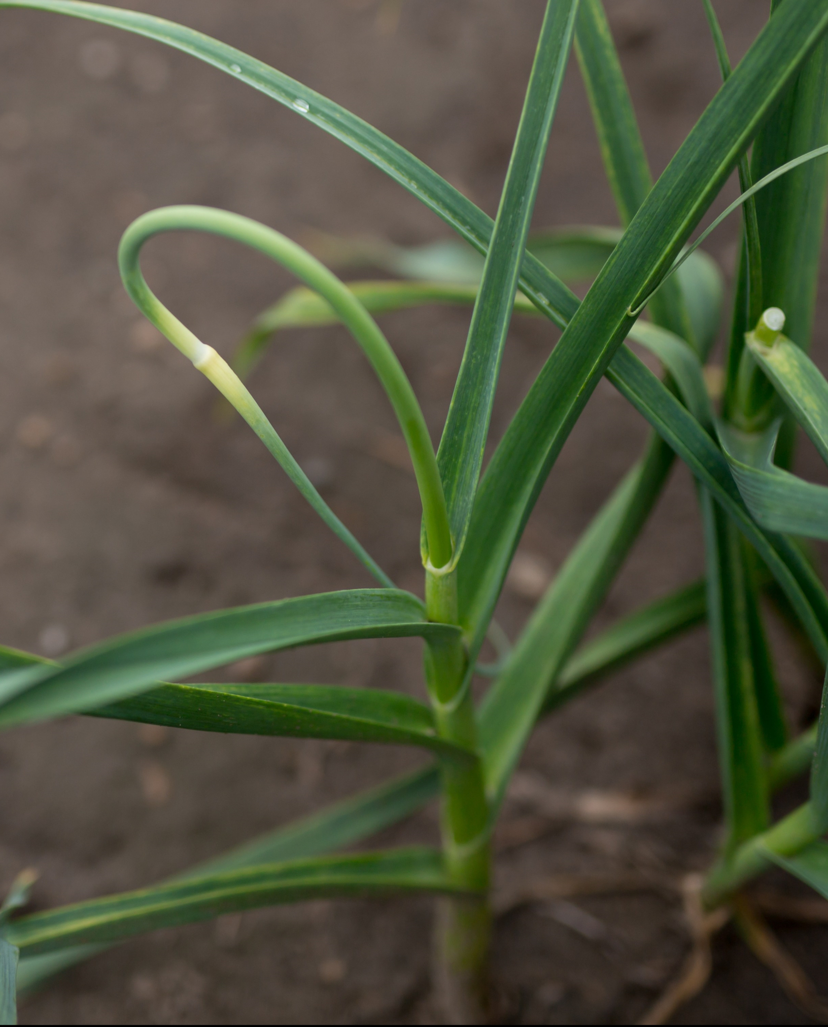 Garlic Scapes are the flower buds of the garlic plant, cut off to encourage bulb growth.