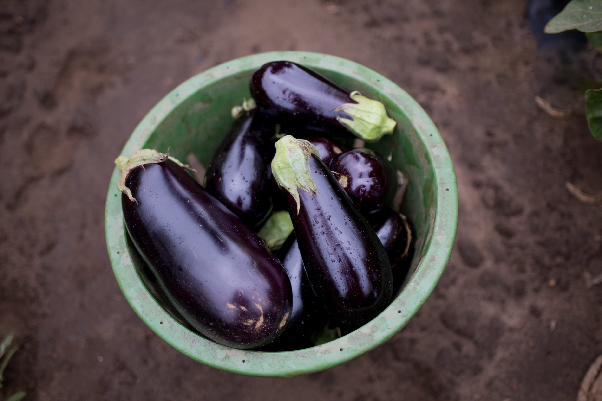 Buy Eggplant that are firm and glossy. Eat soon after purchase. -