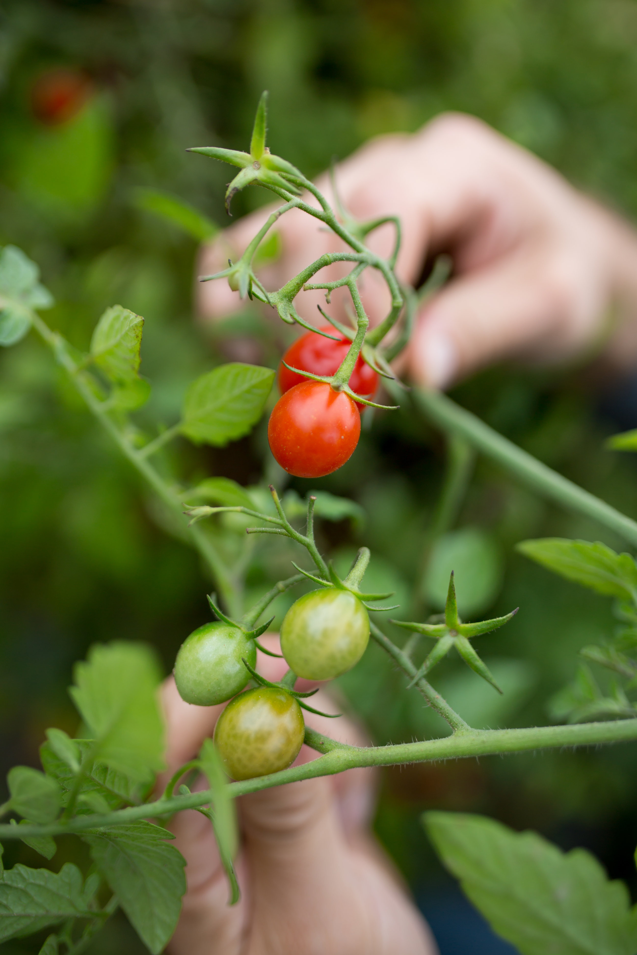 Grape tomatoes growing at  Hi-Berry Farm . Leave tomatoes on the vine for as long as possible.