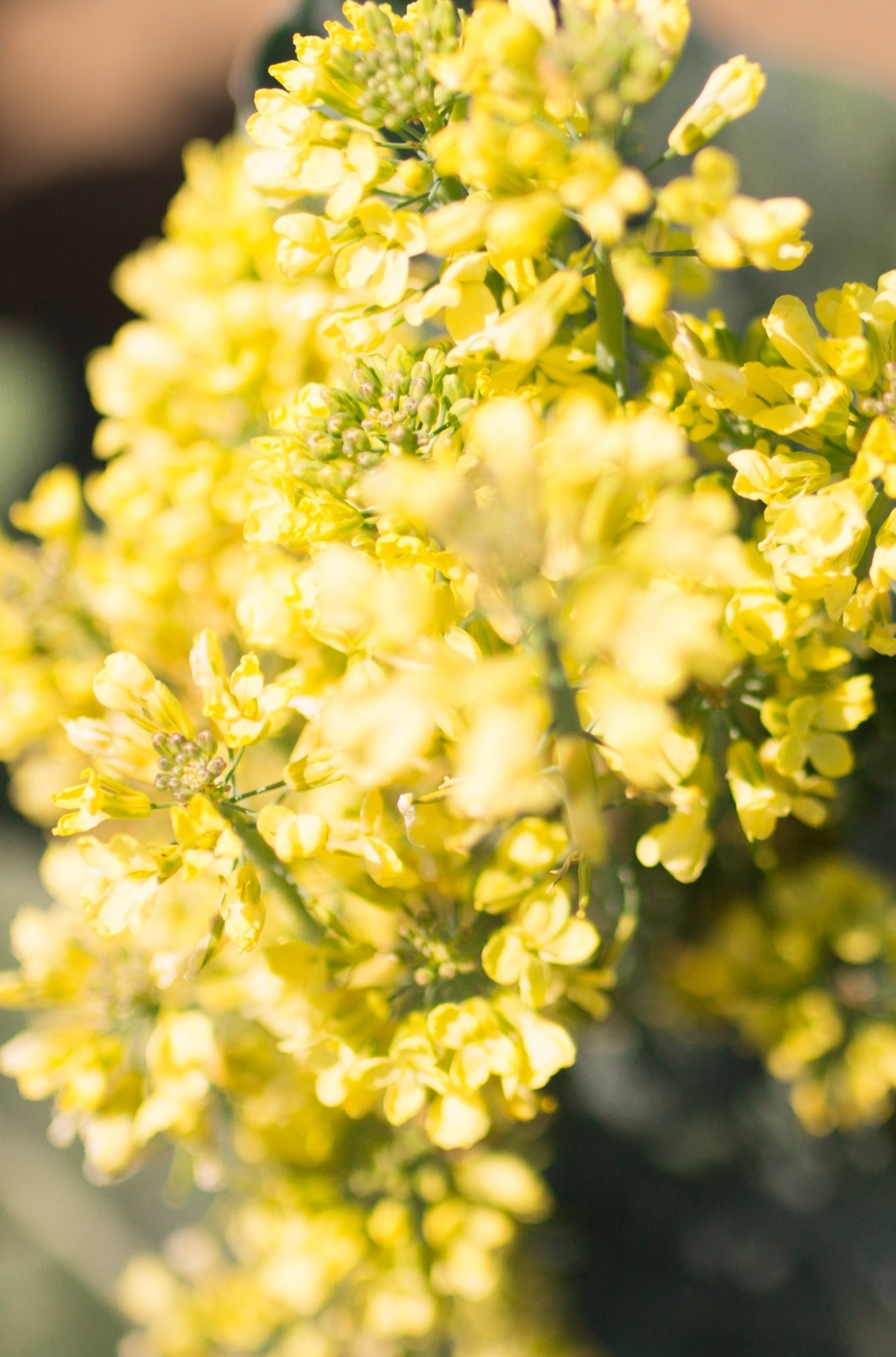If left to grow too long broccoli heads will bloom into a cluster of bright yellow flowers.  If left too long after harvest the buds can turn a wilted yellow and give off a bitter taste. Store refrigerated no longer than 3-5 days.