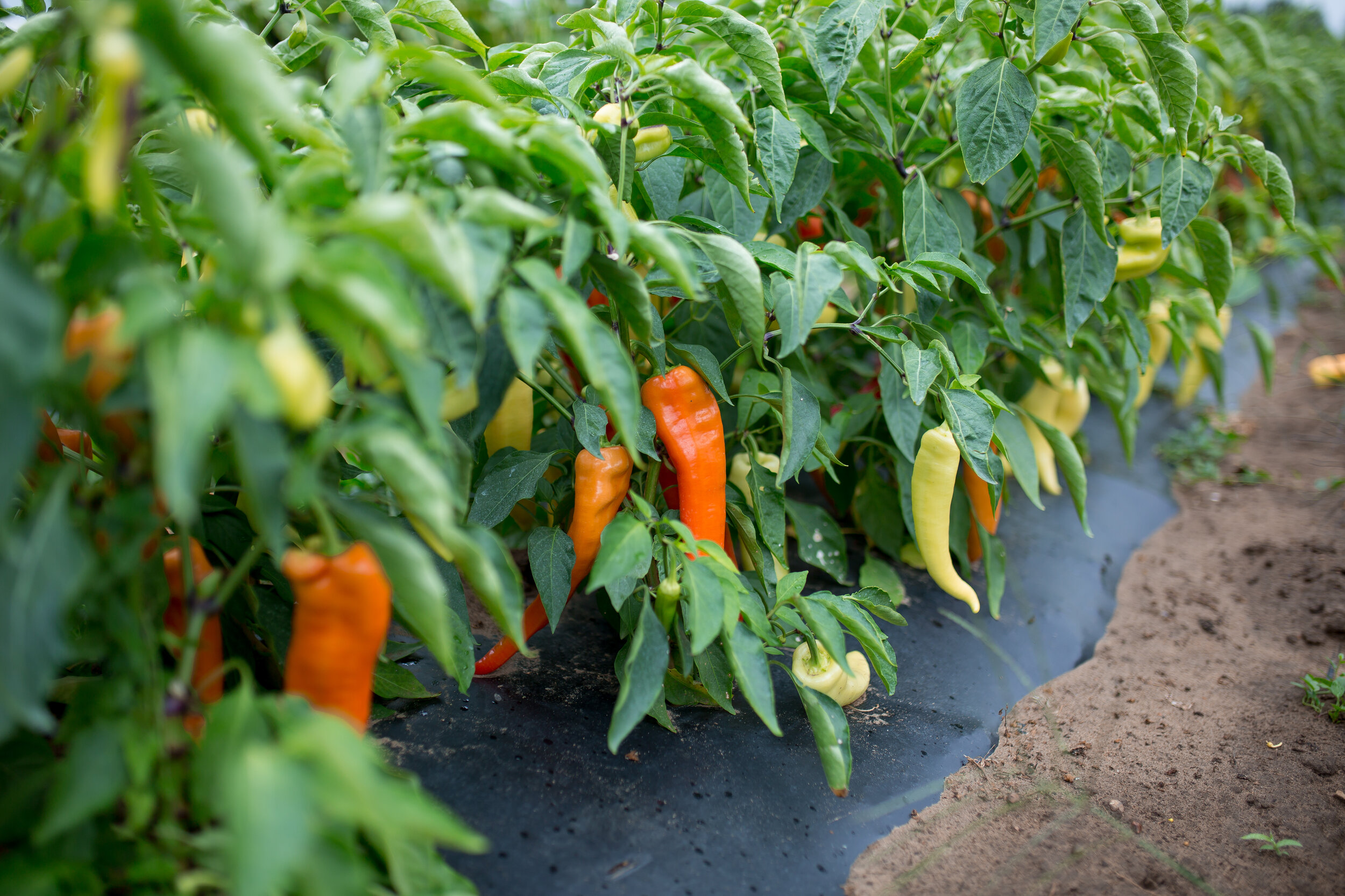 Hungarian hot peppers can range from mild (yellow-green) to hot (deep red). Heat can increase considerably as peppers turn red.