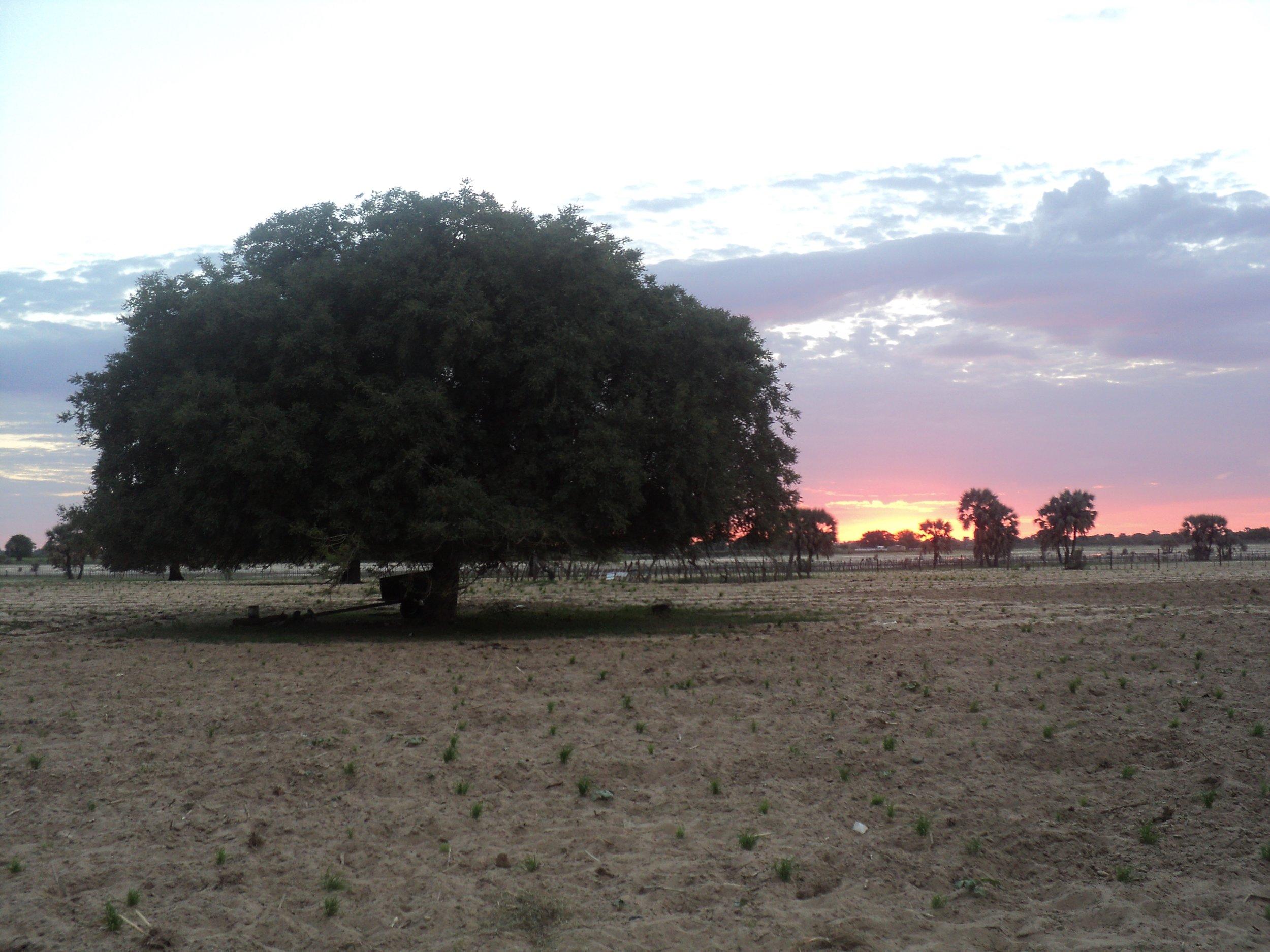 A Namibian marula tree.