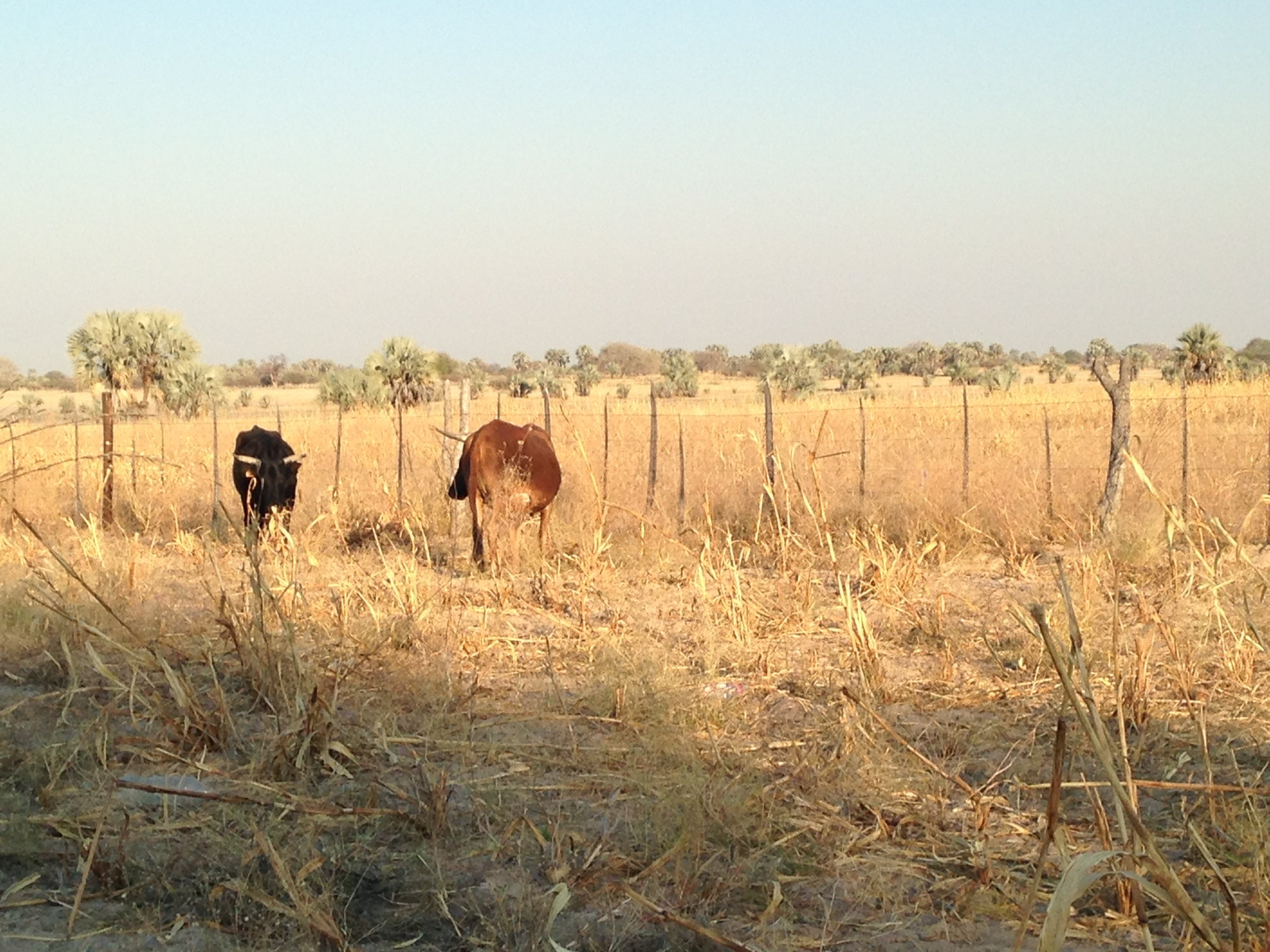 This is a photo of two cows grazing in a field under the sun.
