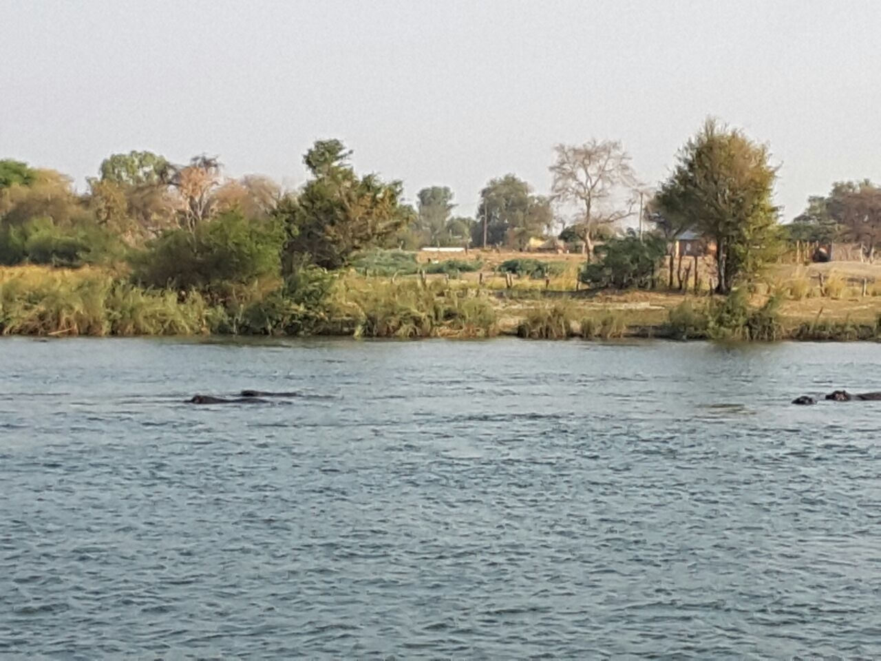 Hippos peeking at our boat as we drifted by.