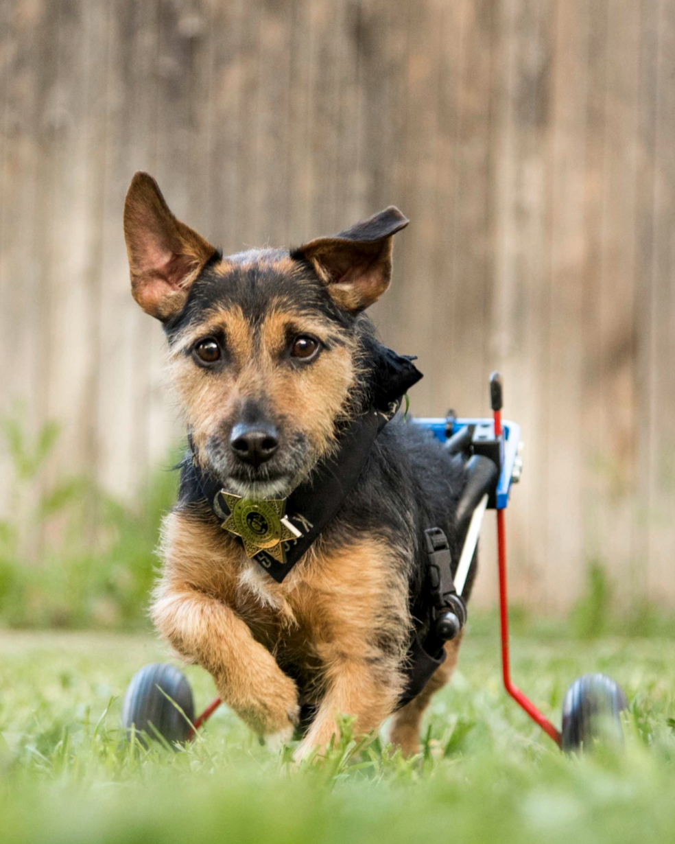 RIDDLE – 7 years old, Hunt Terrier   Riddle puts the terrorist in terrier. He had a spinal stroke in 2017 that left him paraplegic so now he rocks his wheelchair like the little ass kicker that he is. It hasn't slowed him down a bit (sometimes I wish it would, actually) and he still comes hiking and camping with us all the time. His favorite activities include eating Blue Jays, lounging in sun spots, and jumping off of couches or flights of stairs. Has nine lives and has used eight of them already.