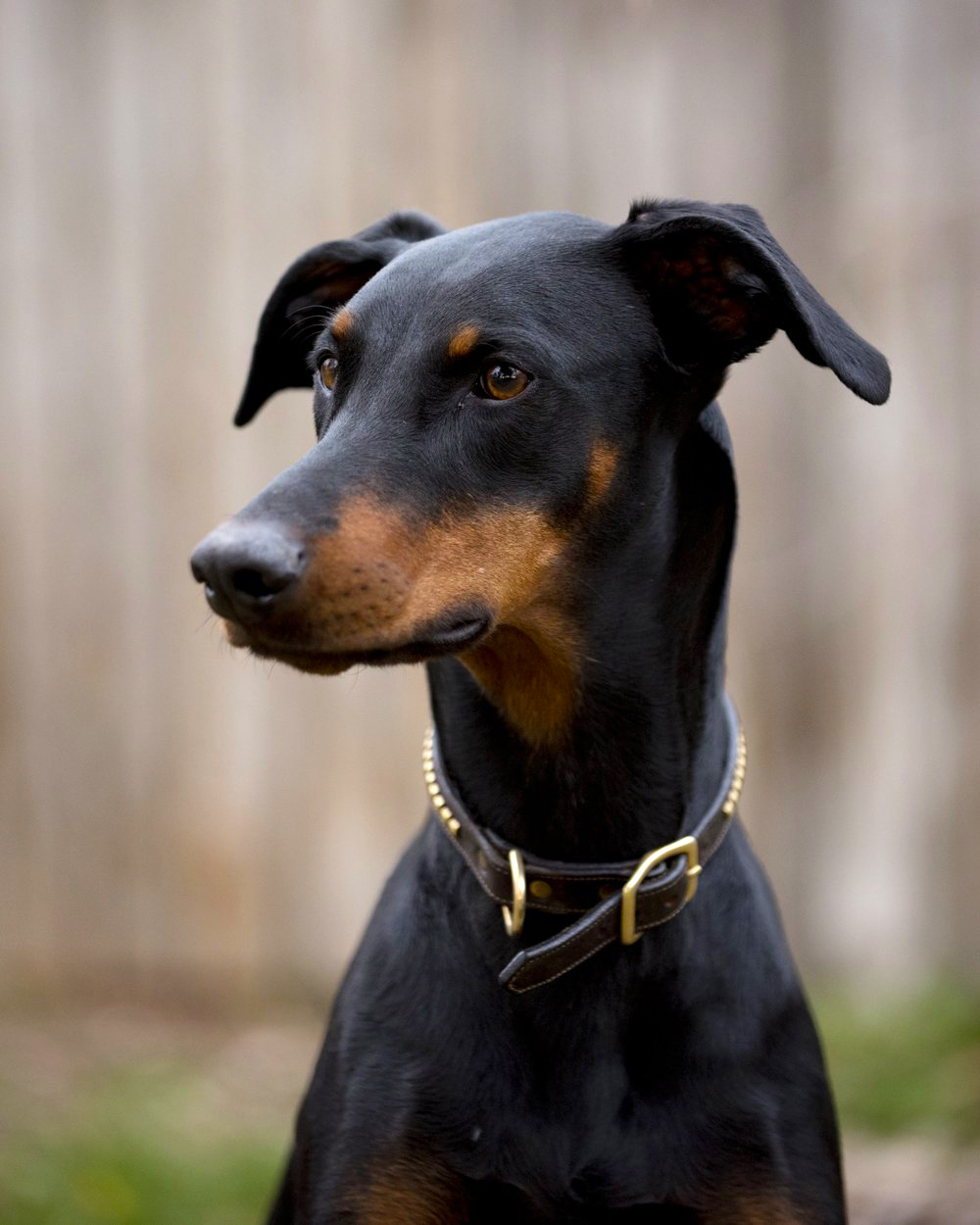 RUMOR – 3 years old, Doberman Pinscher   Rumor is our rescue dobie who looks much more intimidating than she actually is. Thinks she's a lapdog and doesn't see the appeal in adventuring or hunting. She's definitely the baby of the family and is perfectly happy to be the beta to Riddle's alpha. We got her at a sandwich shop in Boulder, CO in 2017 (for real, ask us the story) and she's been loving up on us ever since. She prefers to spend her days in the comforts of her own home cuddled up on a couch.