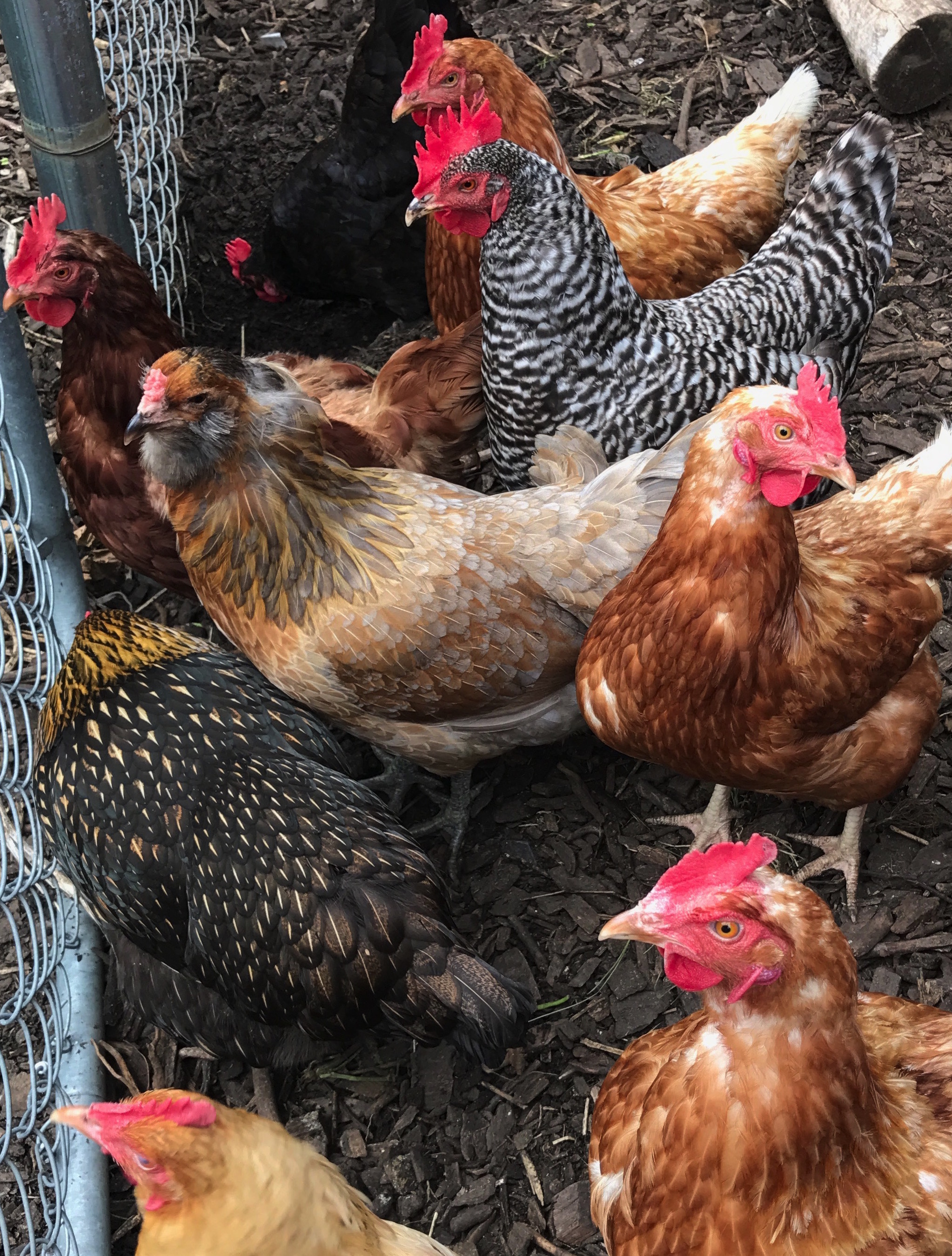 chickens2.jpeg