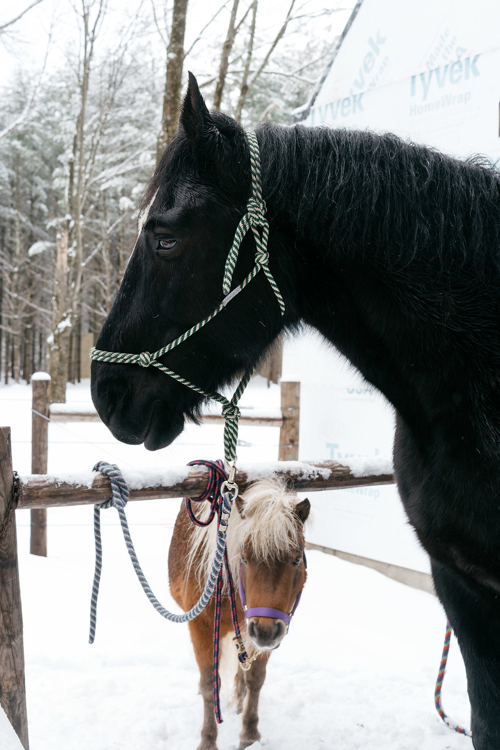 PURE member Darcel McDonald's horses outside of Darcel's home in Wausau, Wisconsin.