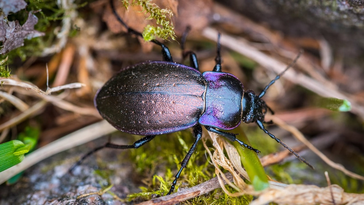 Beetles make up the largest portion of the food chain. Beetles have a hard shell covering them, wings and many species can fly very well. They are found in all parts of the world with about 25000 species.