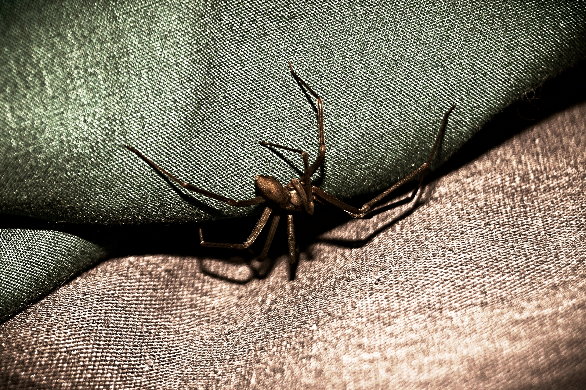 Brown recluse spiders are so steeped in myth and fear you most likely identified the wrong spider. Everyone seems to believe them to be large spiders with lengthy legs spreading across the palm of any hand.But these spiders are no bigger than the size of a quarter. So, that huge spider  you thought  was a brown recluse was more likely a wolf spider if you live in MD, PA or WV.