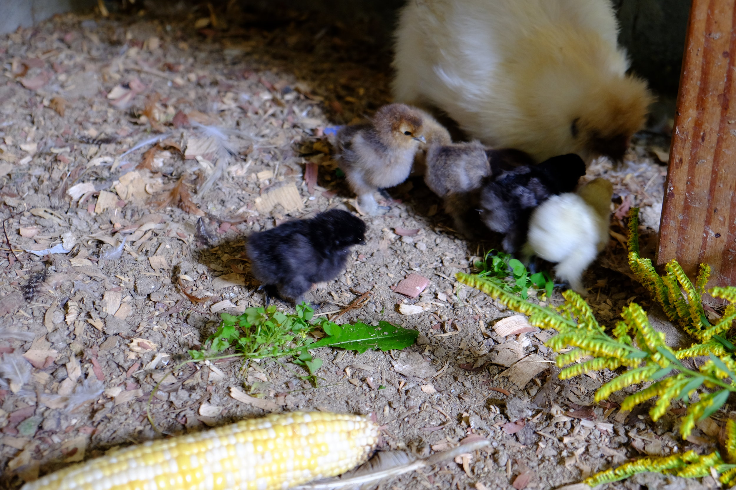 Silkie with chicks