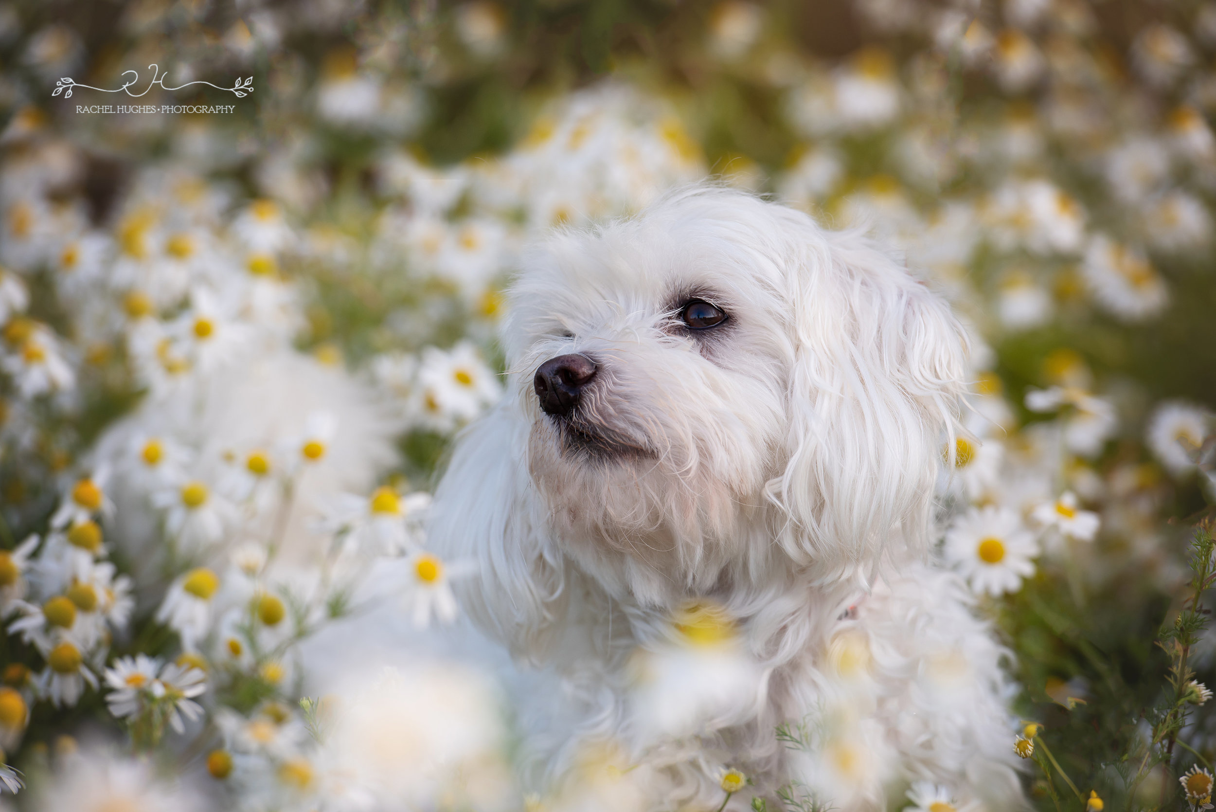 Jersey photographer - dog photoshoot in daisies