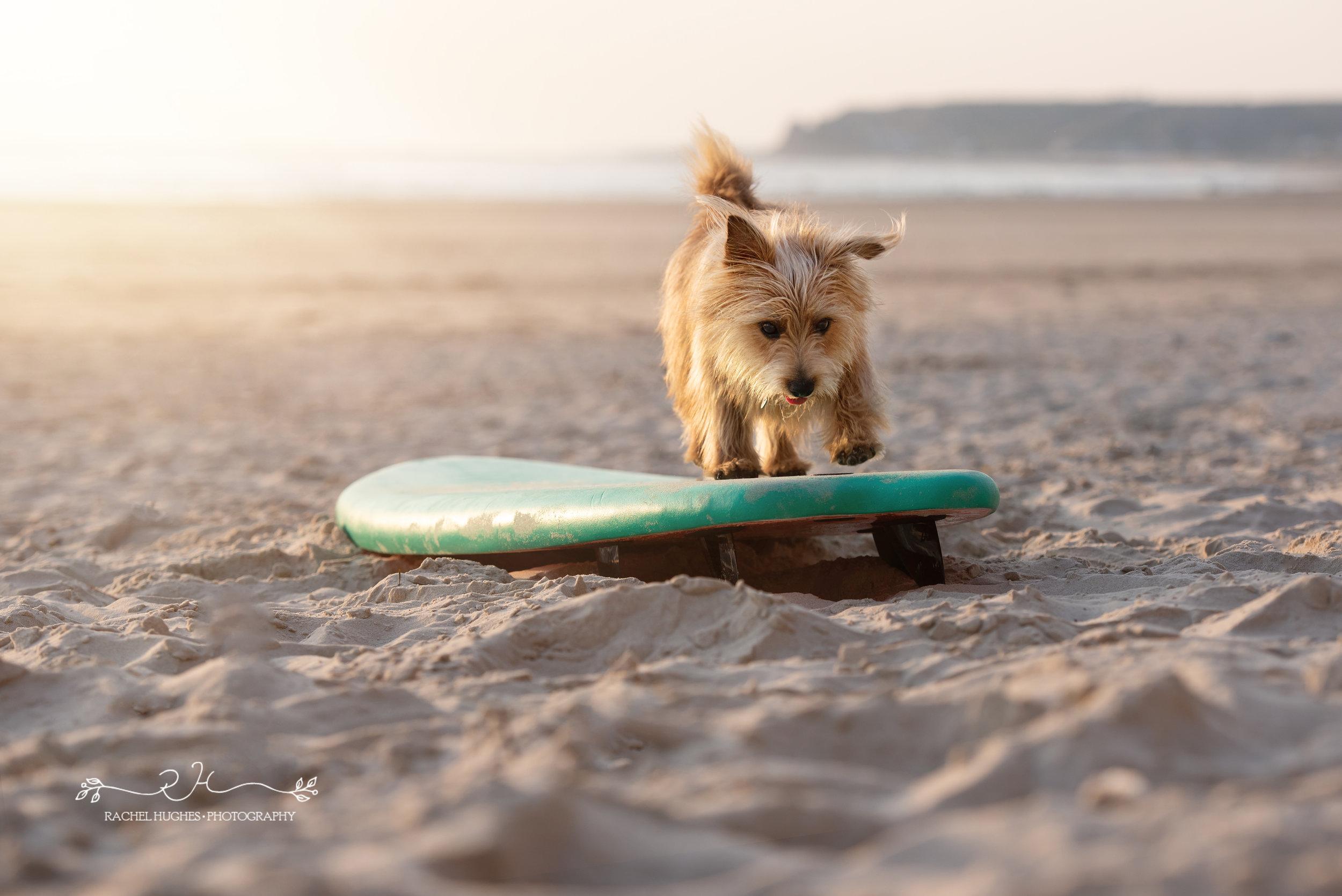 Jersey photographer - pup balancing on surfboard